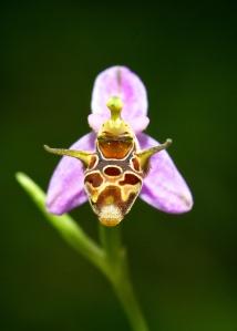 Giraffe orchid